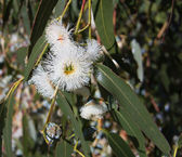 Eucalyptus globulus-Tasmanian blue gum tree — Stock Photo