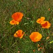 California wild poppy — Stock Photo