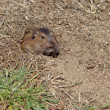 Botta's Pocket Gopher (Thomomys bottae) — ストック写真