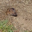 Botta's Pocket Gopher (Thomomys bottae) — Stock Photo