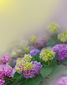 Hortensia on floral background — Stock Photo
