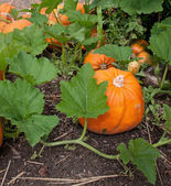Pumpkin plant with ripe pumpkins — Stock Photo