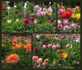 Dahlia garden — Stock Photo