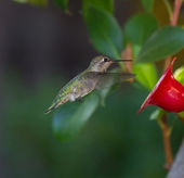 Hummingbird flying towards feeder — Stock Photo