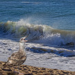 Screaming seagull and ocean wave — Stock Photo
