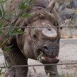 Постер, плакат: Black rhinoceros or hook lipped rhinoceros Diceros bicornis