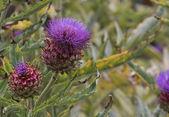 Cardoon (Cynara cardunculus) plant with flower and bud — Stock Photo