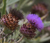 Cardoon (Cynara cardunculus) flower — Stock Photo