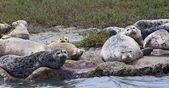 Group of harbor seals (Phoca vitulina) — Stock Photo