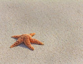 Pacific sea star (asterias amurensis) — Stockfoto
