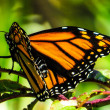 Monarch butterfly — Foto Stock #42020903