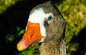 Goose — Стоковое фото