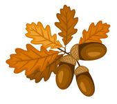 Rama de encina con hojas y bellotas. ilustración vectorial. — Vector de stock