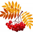 Rowan branch with rowanberries and leaves. Vector illustration. — Stock Vector