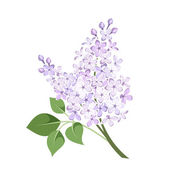 Branch of lilac flowers. Vector illustration. — Stock Vector