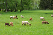 France, sheeps in the park of Th��m��ricourt — Stock Photo