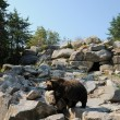 Quebec, bear in the Zoo sauvage de Saint F��licien — Stock Photo