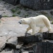Quebec, bear in the Zoo sauvage de Saint Felicien - Stockfoto