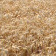Yvelines, wheat field in Jumeauville — Stock Photo