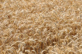 Yvelines, wheat field in Jumeauville — Stock Photo