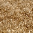 Yvelines, wheat  field in Andelu — Stock Photo