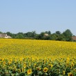 Yvelines, sunflower field in Guitrancourt — Stock Photo