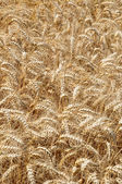 Wheat field in Seraincourt in Val d Oise — Stock Photo