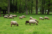 Ile de France, sheeps in the park of Themericourt — Stock Photo