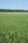 France, wheat field in Jouy Le Moutier in Val d Oise — Stock Photo