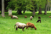 Ile de france, ovejas en el parque de themericourt — Foto de Stock