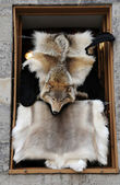Canada, Quebec, fox pelt in shop — Stock Photo