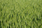 France, close up of a wheat field in Sagy — Stock Photo