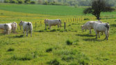 France, cows in a meadow in Aincourt in Val d Oise — Stock Photo