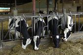 Cows in a cowshed in France — Stock Photo