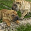 Stock Photo: Shar pei, autralishepherd in meadow