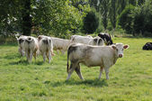 Cows in a meadow in France — Stock Photo