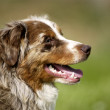 Dog, autralian shepherd in a meadow - Stock Photo