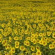 Stock Photo: Field of sunflower