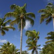 Stock Photo: Palm tree in Guadeloupe