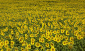 Field of sunflower — Stock Photo
