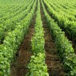 Vineyard in Burgundy — Stock Photo #22414523