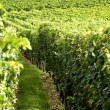 Vineyard in Burgundy — Stock Photo #22414563