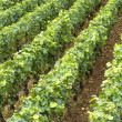 Vineyard in Burgundy — Stock Photo #22414605