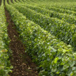 Vineyard in Burgundy — Stock Photo #22414685