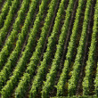 Vineyard in Burgundy — Stock Photo #22414719