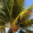Palm tree in Guadeloupe — Stock Photo