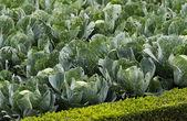 Cabbage in a garden — Stock Photo