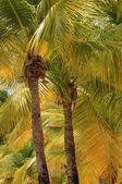 Palmou v sainte anne v guadeloupe — Stock fotografie