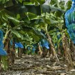 France, banana plantation in Martinique — Stock Photo