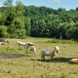 Stock Photo: France, cows in meadow in Saint Lambert des Bois in les Yveli